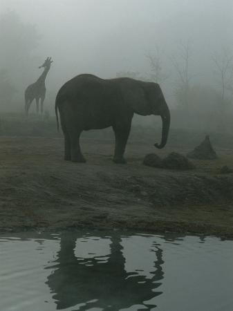 A Giraffe and Elephant Live in the Same Exhibit at the Pittsburgh Zoo