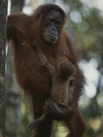 A Former Captive Orangutan and Her Baby, Which was Born in the Wild