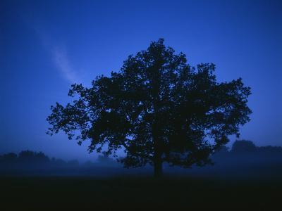 Tree on a Summer Night