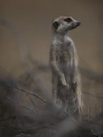 An Adult Meerkat (Suricata Suricatta) Stands on Lookout