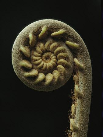A Close View of the Spiral of a Fern Fiddlehead