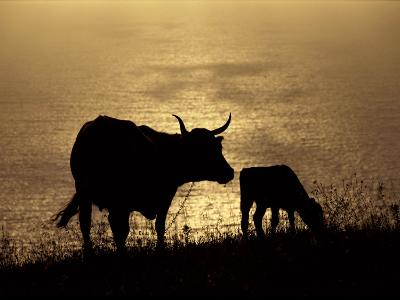 Silhouetted Cows Along the Coast