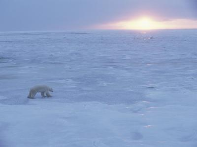A Polar Bear Tests the Strength of Ice with its Paws