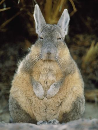 A Herbivorous Viscacha Puffs up against the Sharp Desert Cold