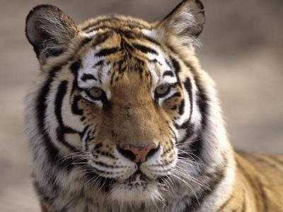 Tiger, Qinhuangdao Zoo, Hebei Province, China