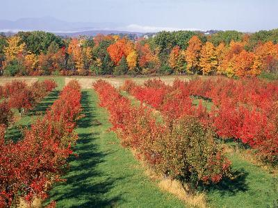Fruit Orchard in the Fall, Columbia County, NY