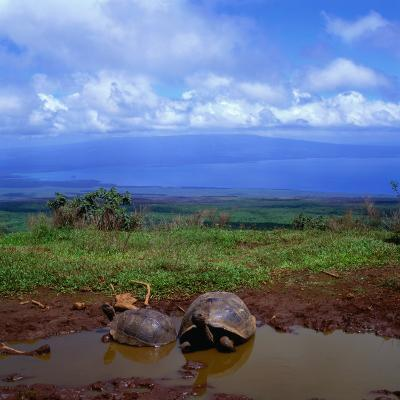 Giant Tortoises in Pond with Bay in Distance, Ecuador