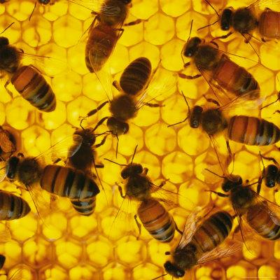 A Close-up View of Bees in a Hive