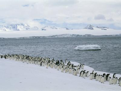 A Group of Adelie Penguins Marching Along a Shoreline