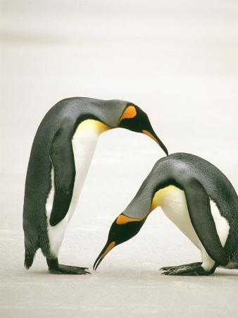 The Courtship of Two King Penguins on the Ice Coast of Antarctica