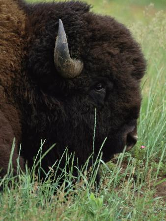 Profile of an American Bison