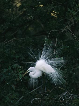 Great Egret Displays its Plumage