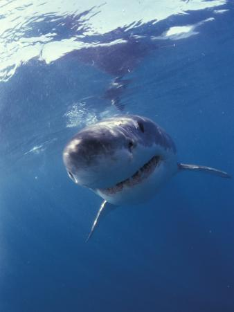 Underwater View of a Great White Shark, South Africa