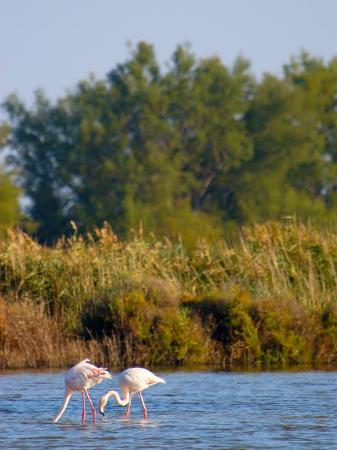 Greater Flamingos in Marsh, Camargue, France