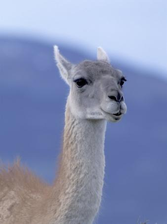 Guanaco in Torres del Paine National Park, Coquimbo, Chile