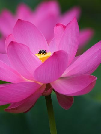 Perry's Water Garden, Lotus Blossom and Bee, Franklin, North Carolina, USA