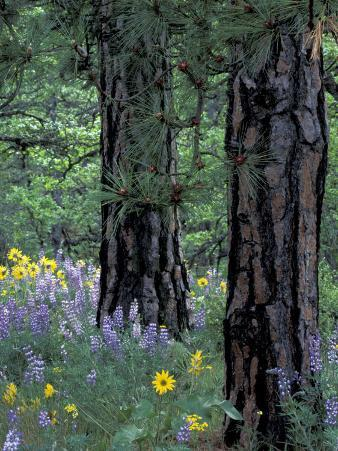Balsam Root and Lupines Among Pacific Ponderosa Pine, Rowena, Oregon, USA