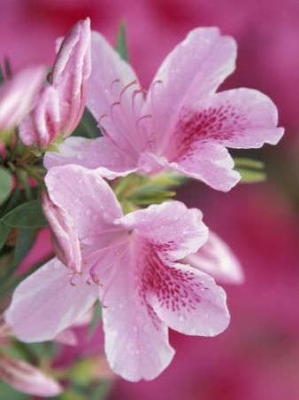 Azalea Blossom, Charleston, South Carolina, USA