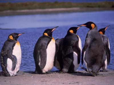 King Penguins Lined Up on Shore, Falkland Islands