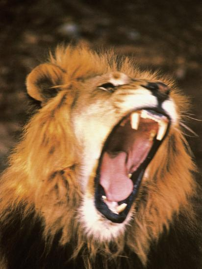 Lion Roaring In The Wild Photographic Print By John