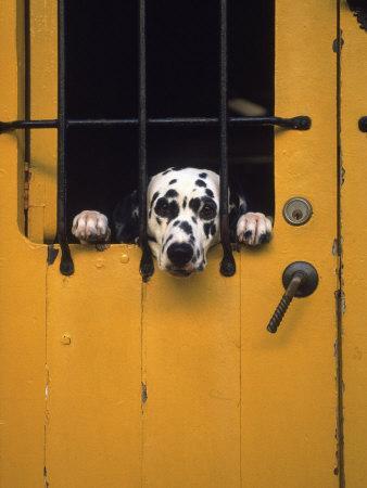 Dalmatian Looking Through Window