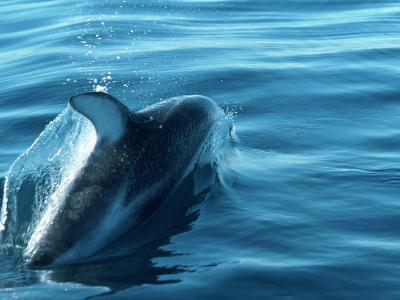 Dolphin in Motion in the Water