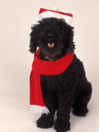 Poodle Wearing Scarf and Santa Hat
