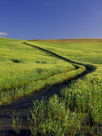 Road Thru Green Wheat Field, Palouse, Washington, USA