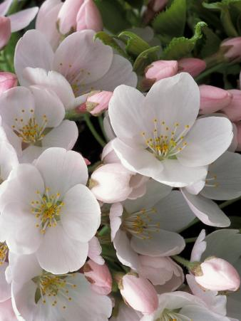 White Flowers, Seattle, Washington, USA