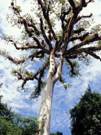 Ceiba Tree, Tikal, El Peten, Guatemala