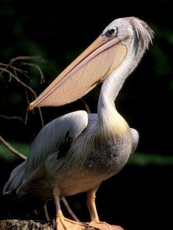 White Pelican, Everglades, Florida, USA