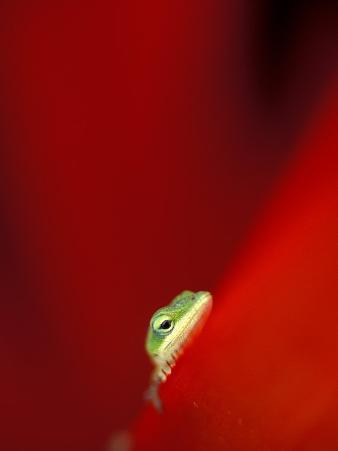 Green Gecko on Red Agave, Maui, Hawaii, USA