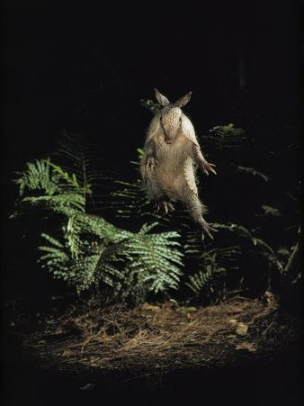 Fright Reflex Propels an Alarmed Armadillo Into the Air, Archbold Biological Station, Florida