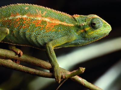 Chameleon, Virunga Volcanoes National Park, Zaire