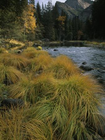 Grasses Along Merced River in Autumn in Yosemite National Park, California