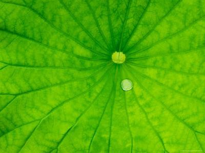 Lotus with Dew Drop, North Carolina, USA