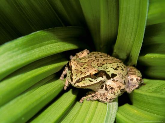 Pacific Tree Frog Umatilla National Forest Oregon Usa