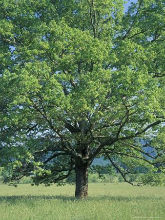 Bur Oak in Cades Cove, Great Smoky Mountains National Park, Tennessee, USA
