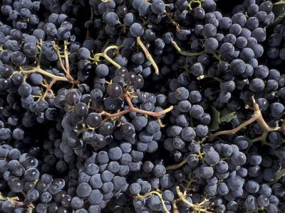 Merlot Grapes Ready to Crush, Terra Blanca Winery, Benton City, Washington, USA