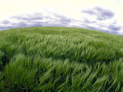 Spring Wheat Field, Palouse, Washington, USA