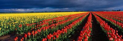 Spring Tulip Rows, Skagit Valley, Washington, USA