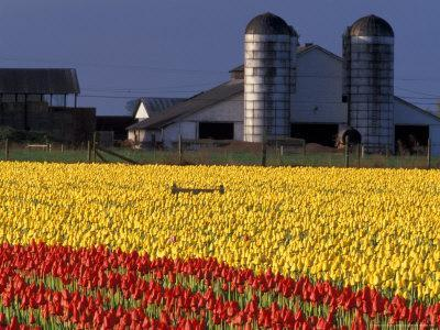 Field of Tulips and Barn with Silos, Skagit Valley, Washington, USA
