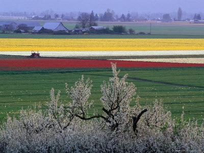 Tulip and Daffodil Fields and Farms, Skagit Valley, Washington, USA