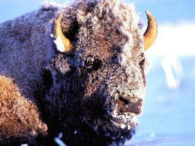 Rocky Mt. Bison, Yellowstone National Park, Wyoming, USA