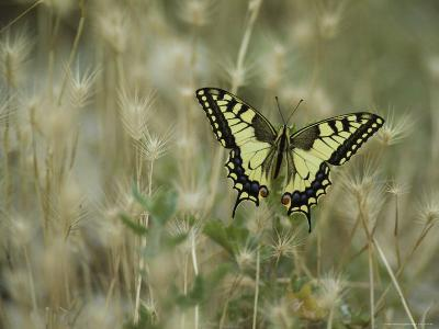 Swallowtail Butterfly Perched on Delicate Grass Seedheads