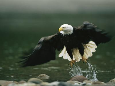 American Bald Eagle in Flight over Water Hunting for Fish