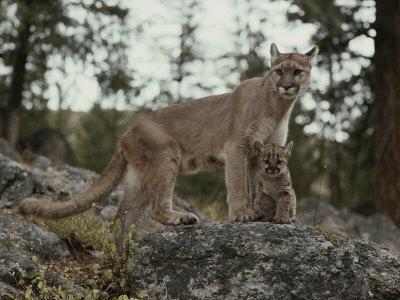 Mountain Lion and an Eight-Week-Old Kitten