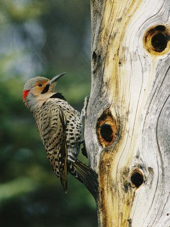Yellow Shafted Northern Flicker on an Old Snag with Nesting Holes