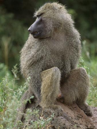 Close View of a Baboon in Profile