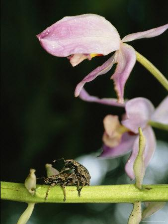 Pair of Weevils Mating on the Stem of an Orchid
